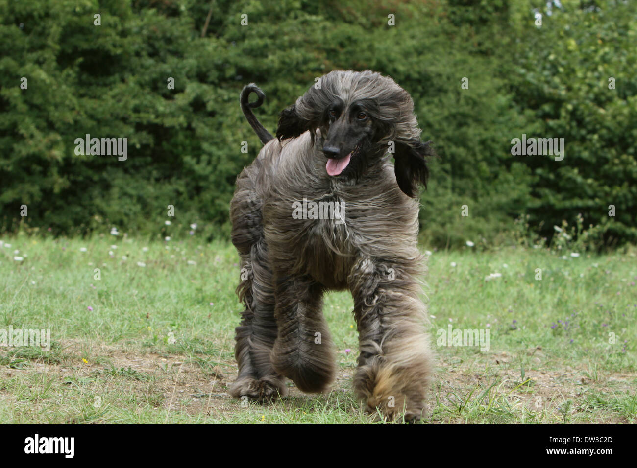 Dog Afghan Hound /  adult running in a meadow Stock Photo