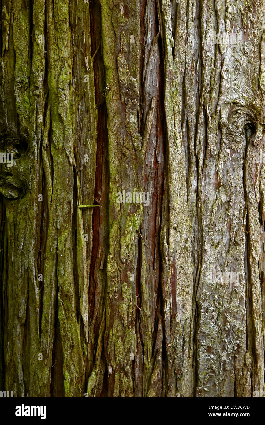 Background Tree bark tall Conifer tree in close view - Stock Image