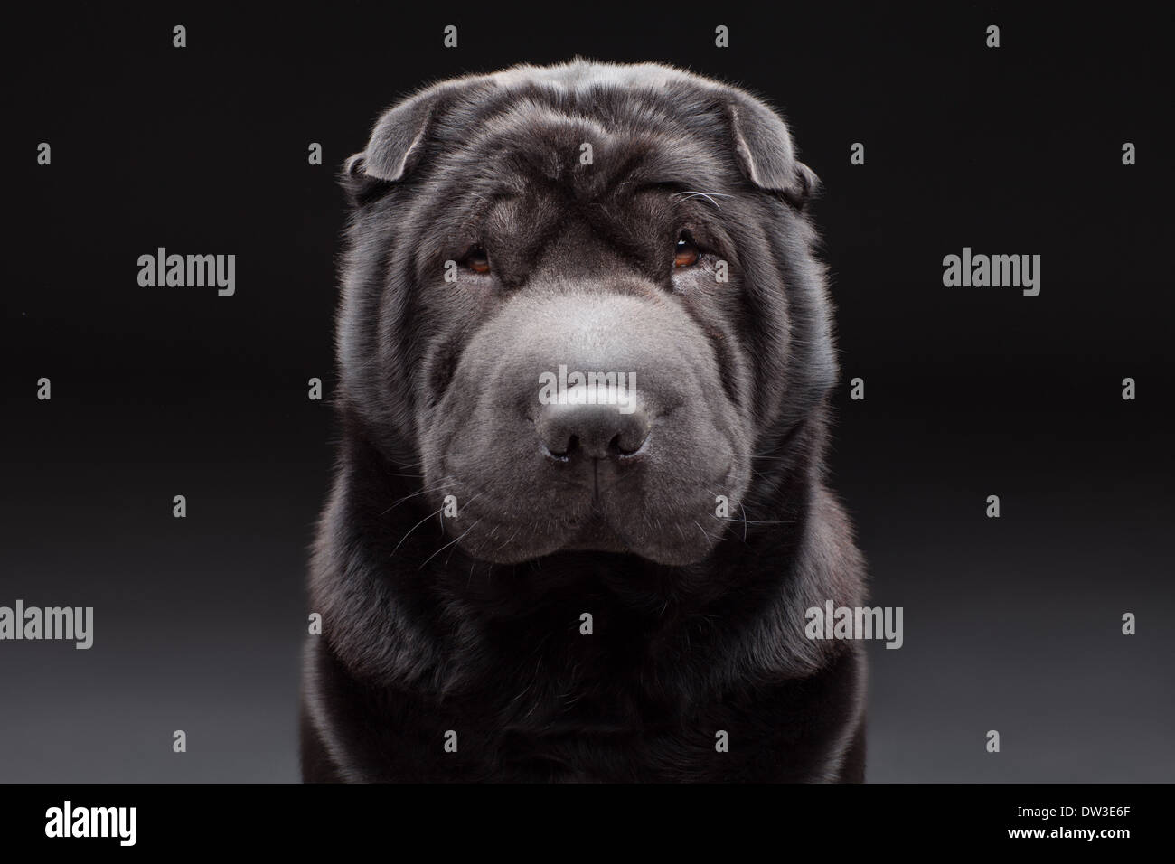Black adult shar pei over black and grey background - Stock Image