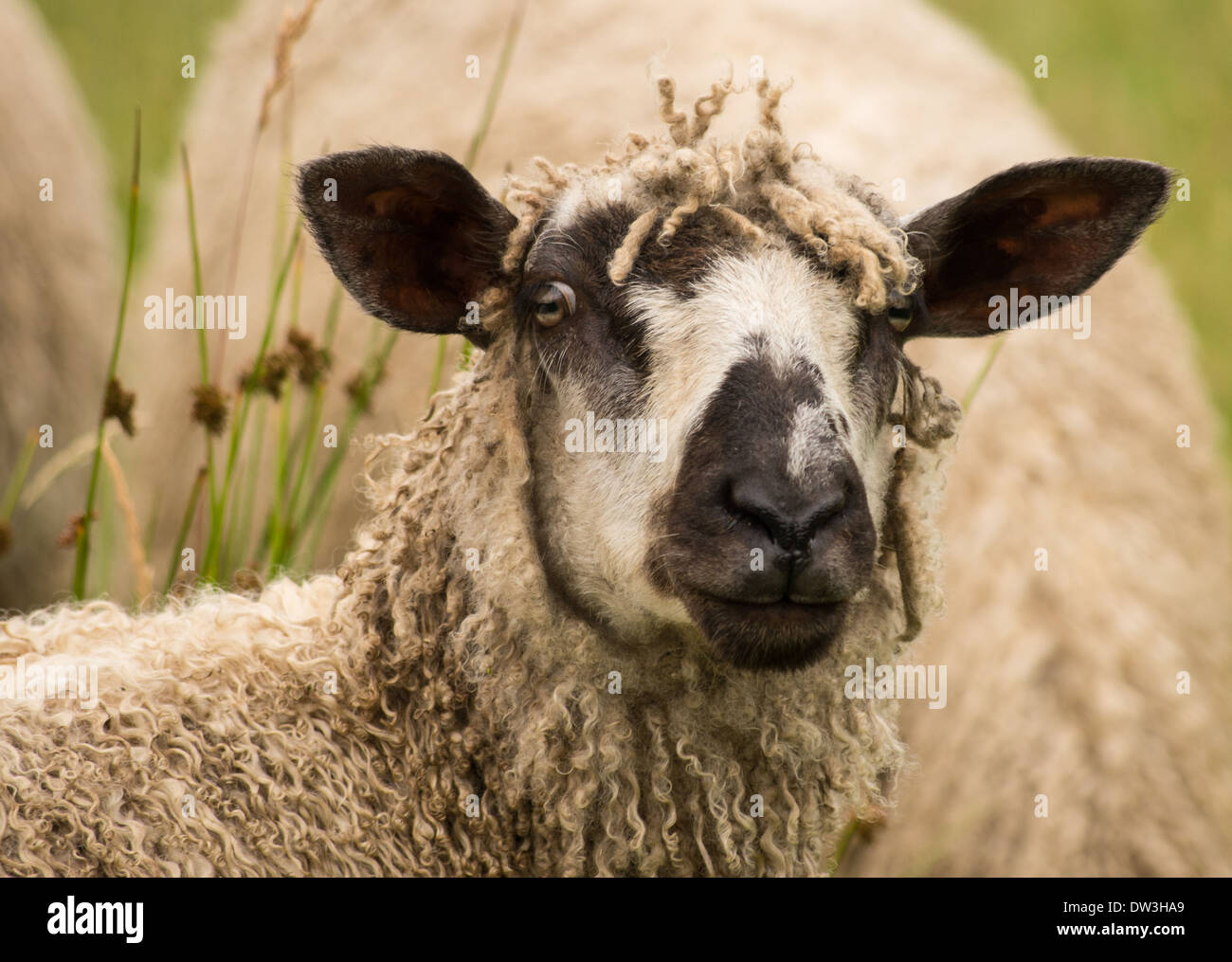Portrait of a Wensleydale sheep. Stock Photo