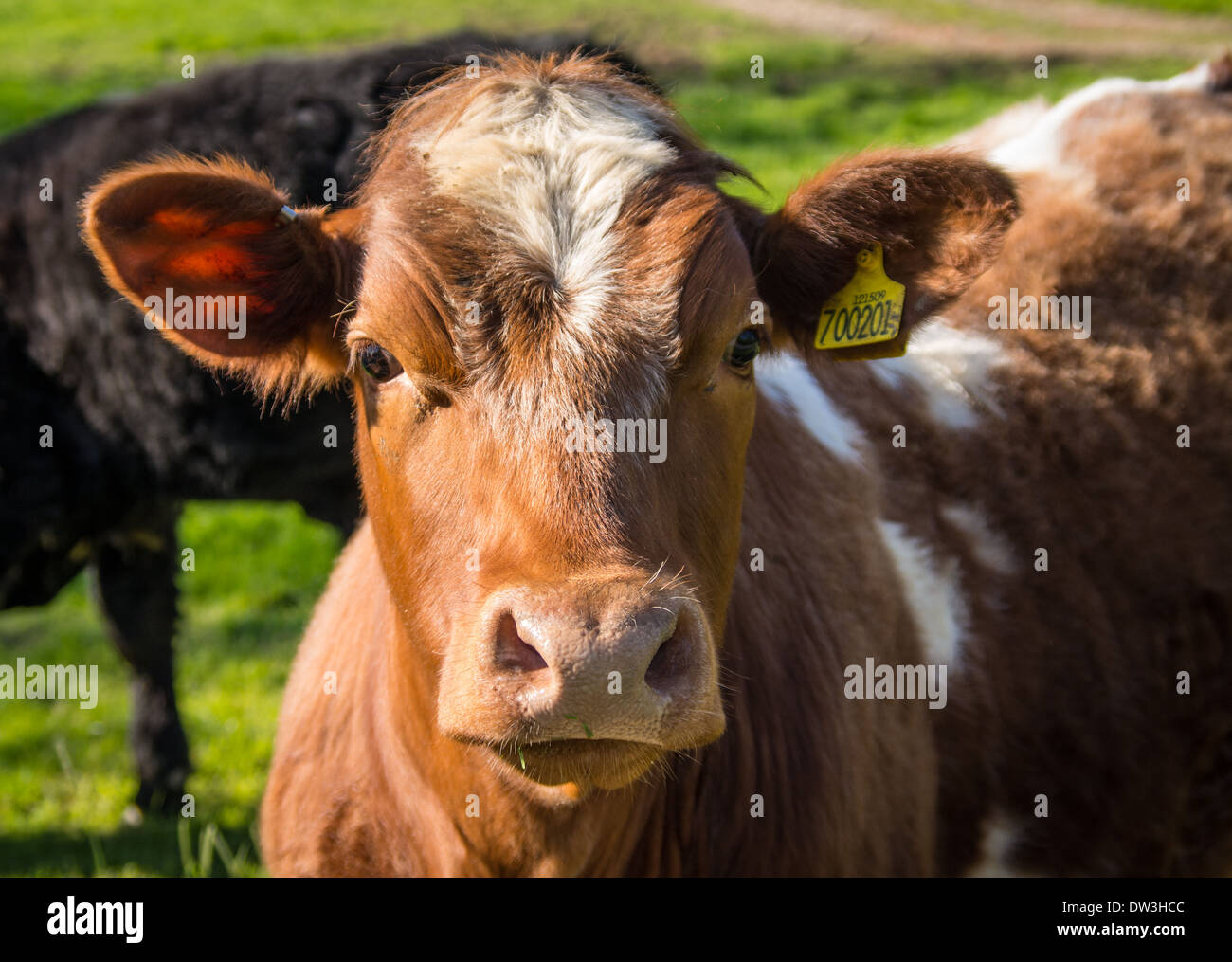 Portrait of a brown Friesian cow in a North Yorkshire field. Stock Photo