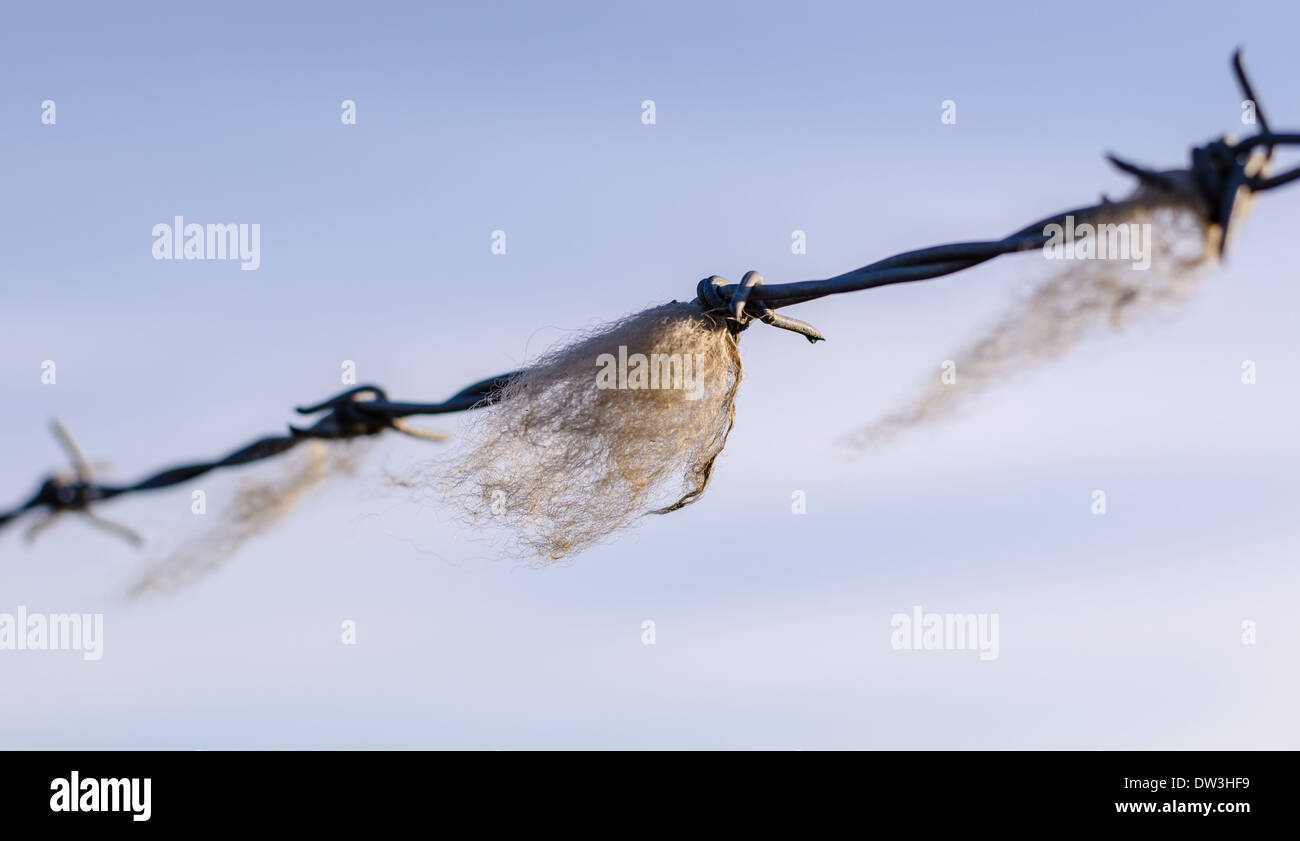 Wool caught on barbed wire fence against a blue sky, with shallow depth of field. Stock Photo