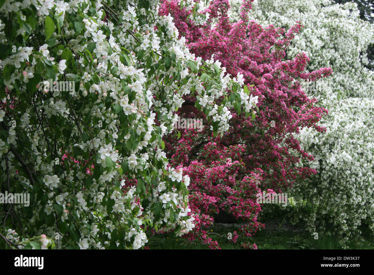 Blooming purple flowers tree branches stock photos blooming purple trees blooming in spring with white and purple flowers stock image mightylinksfo