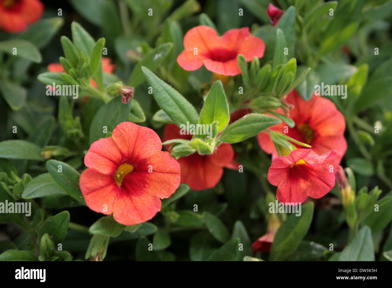 Soft Red Flowers With Yellow Center And Green Leaves July In The