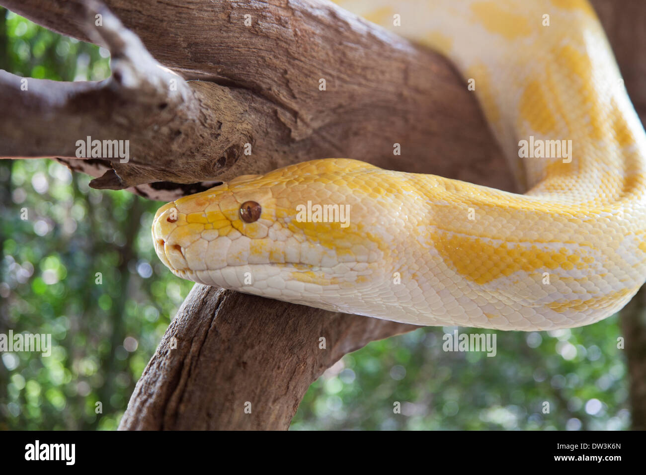 A Yellow Python in a Tree - Stock Image