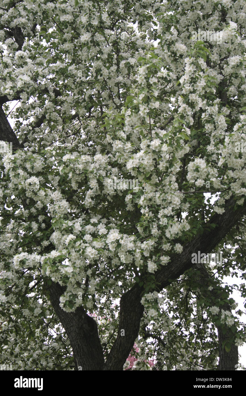 Tree Covered In White Flowers Blooming At The Arboretum In Spring