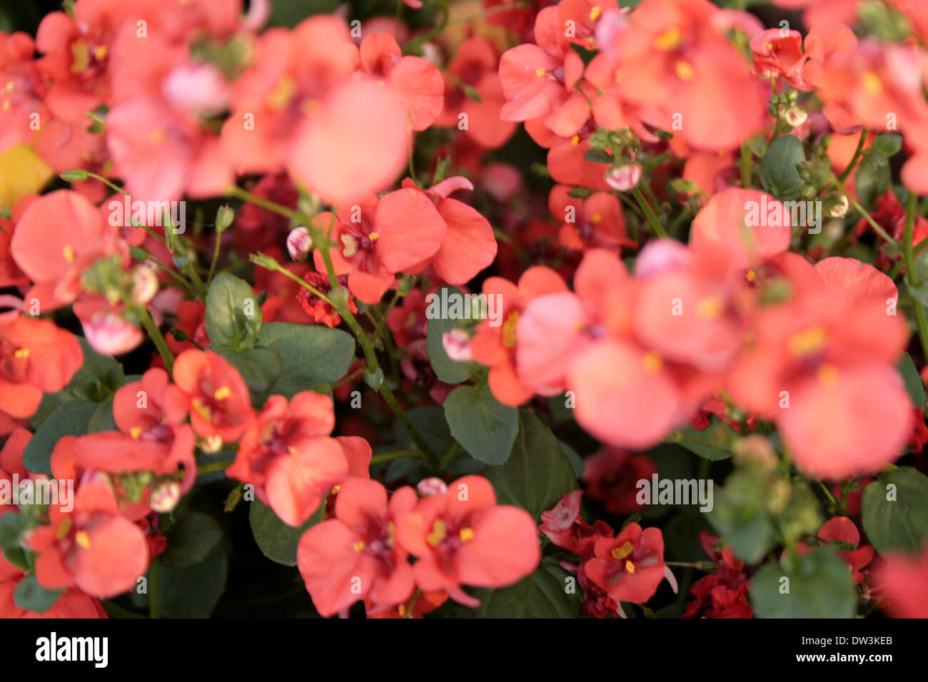 Peach color small flowers, blooming in summer Stock Photo: 67078659 ...