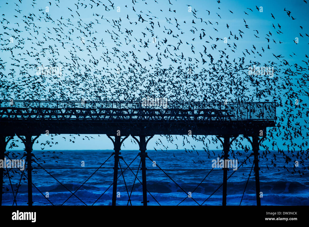 Aberystwyth Wales Uk, Wednesday 26 Feb 2014  Every evening between October and March, flocks of up to 50,00 starlings come in to roost on the cast iron legs of the Victorian seaside pier at Aberystwyth on the west wales coast, UK.  One of only three 'urban' roosts in the UK, the spectacular sight draws crowds  of people at sunset  each day   photo Credit: keith morris/Alamy Live News - Stock Image