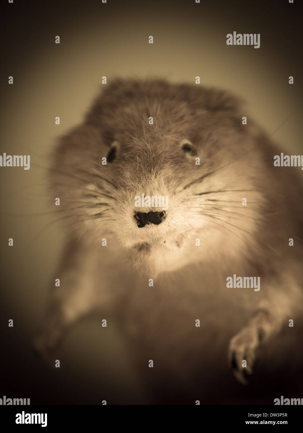 Closeup of stuffed rodent. - Stock Image