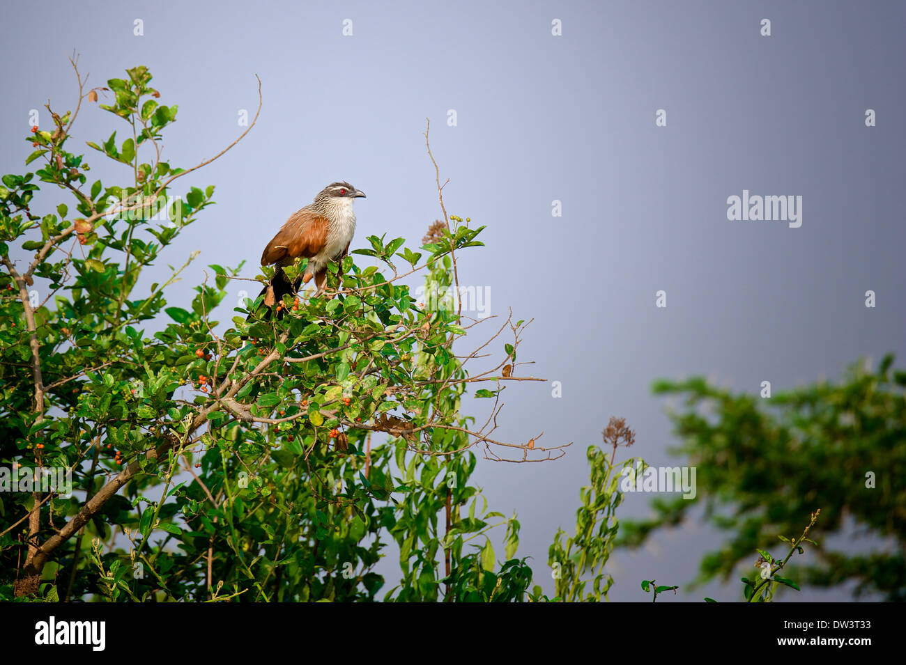 A white-browed coucal (Centropus superciliosus), a member of the cuckoo family, perched on a tree. - Stock Image