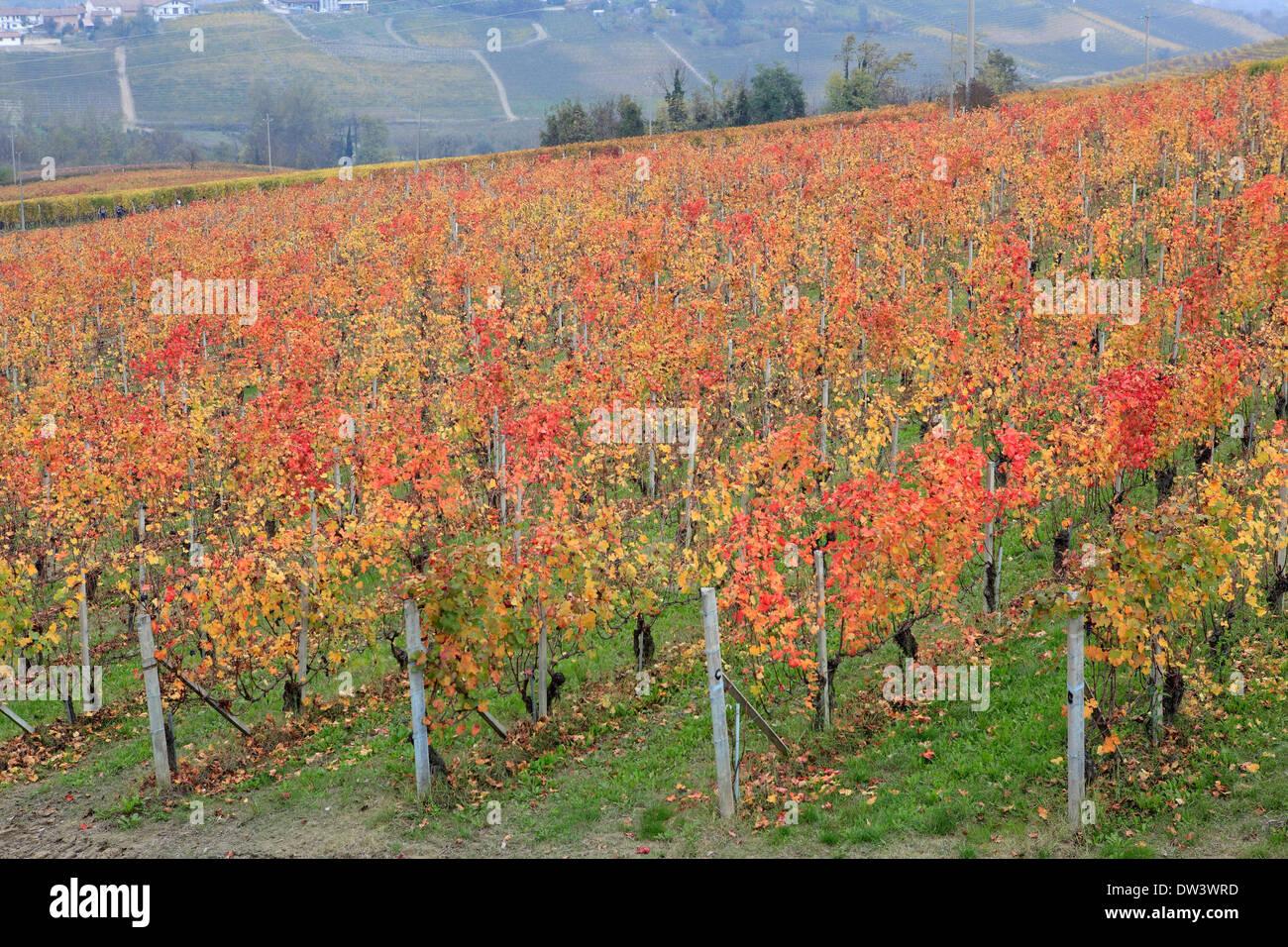 Farm winery vineyard in the Langhe region, Piedmont, Italy