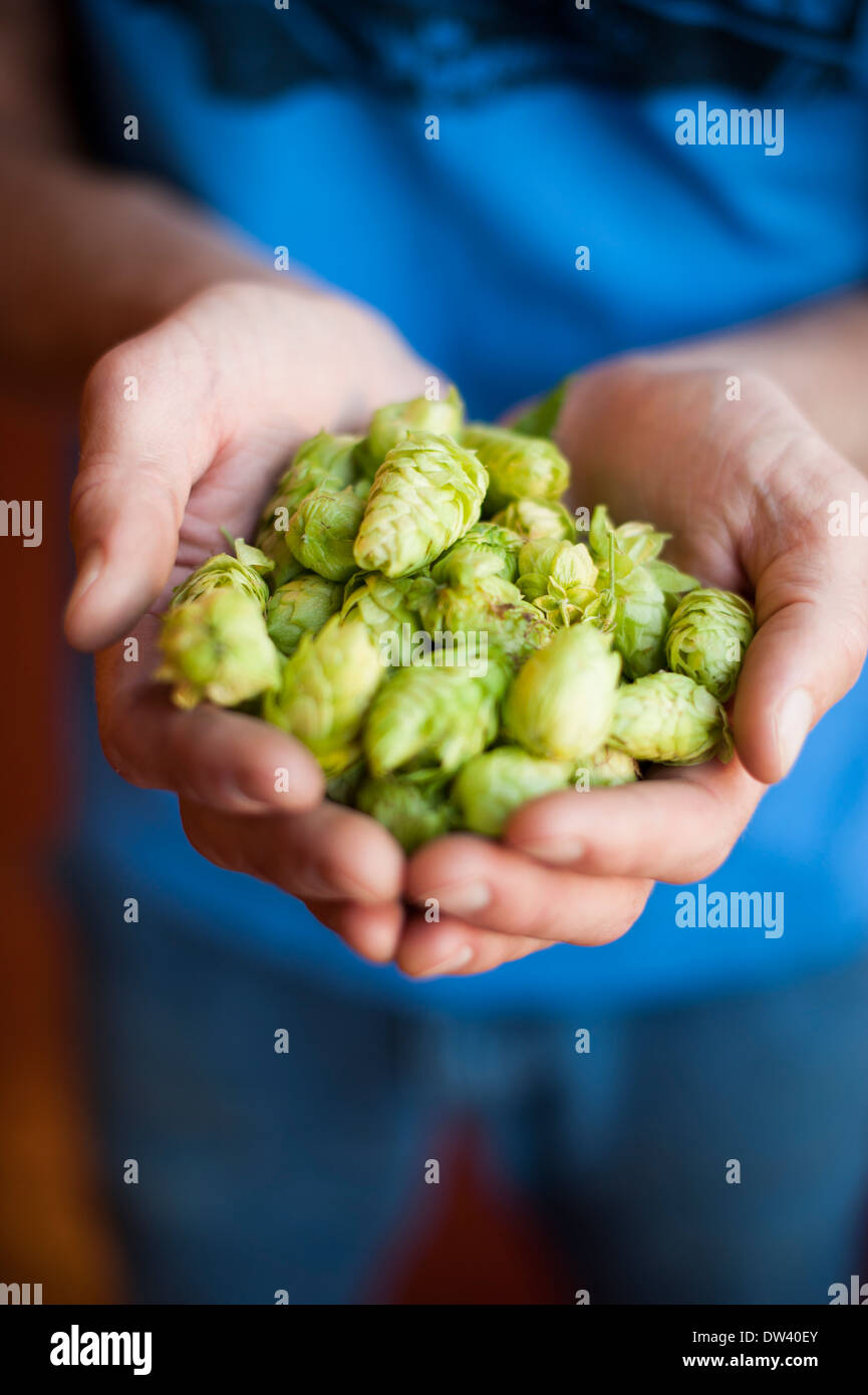 Man with hands full of fresh hops for brewing - Stock Image