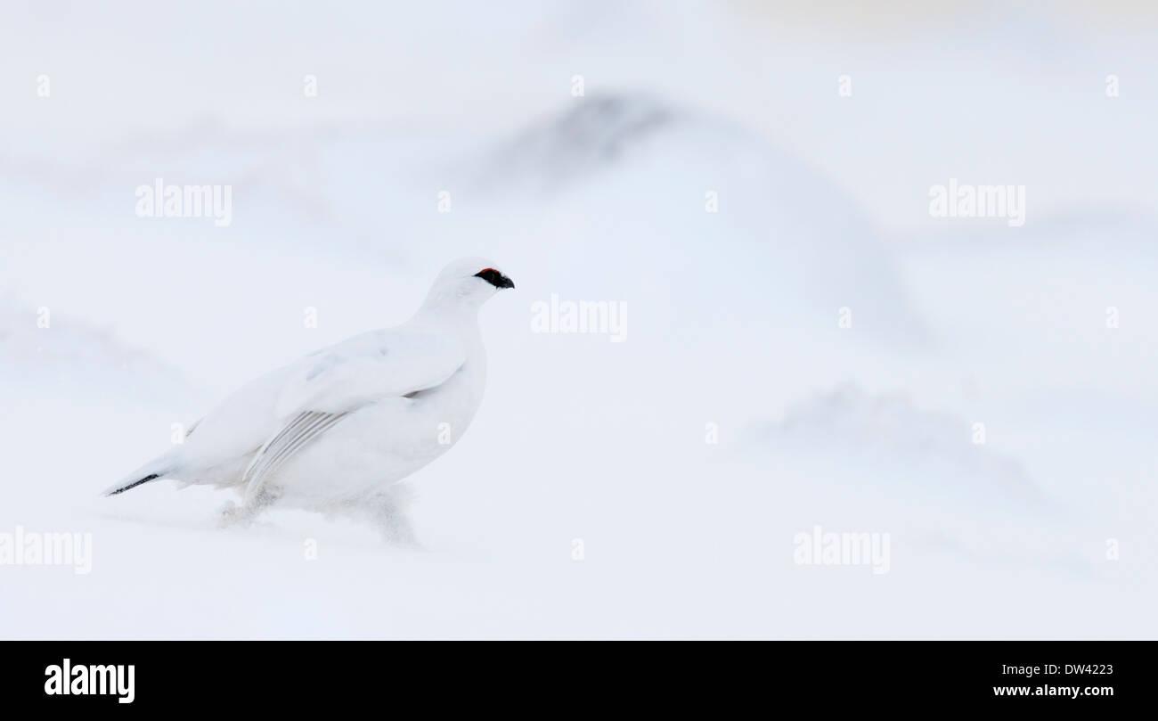 Male Ptarmigan Lagopus mutus, in winter plumage, Cairngorms, Scotland - Stock Image