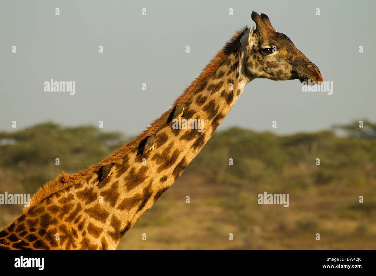 Maasai or Plains Giraffe with Oxpeckers - Stock Image
