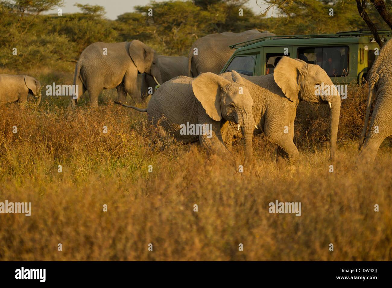 Elephants surround safari vehicle - Stock Image