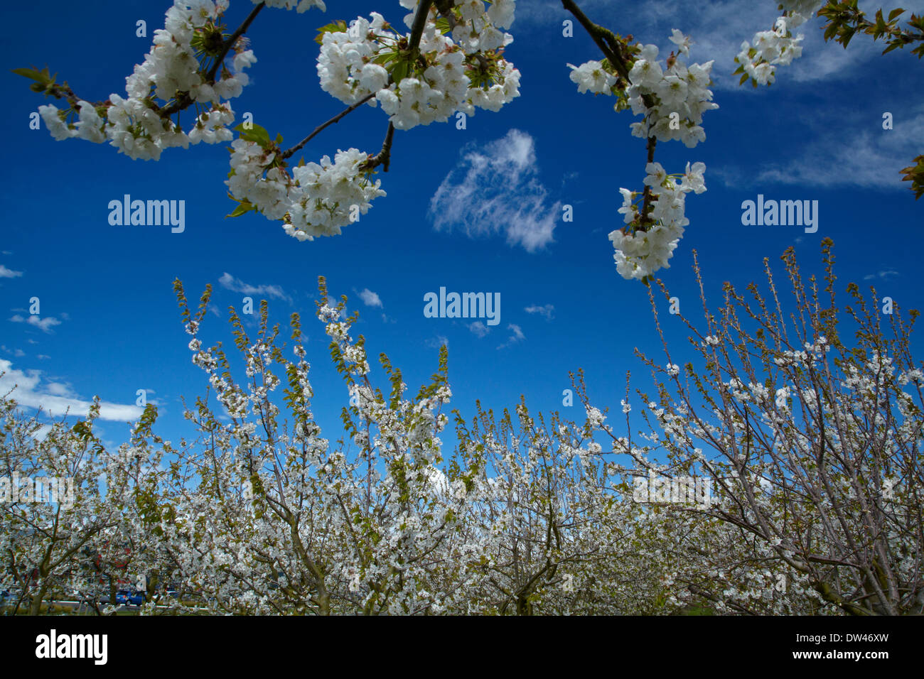 Spring blossom on fruit trees, Westwood Orchard, Blenheim, Marlborough, South Island, New Zealand - Stock Image