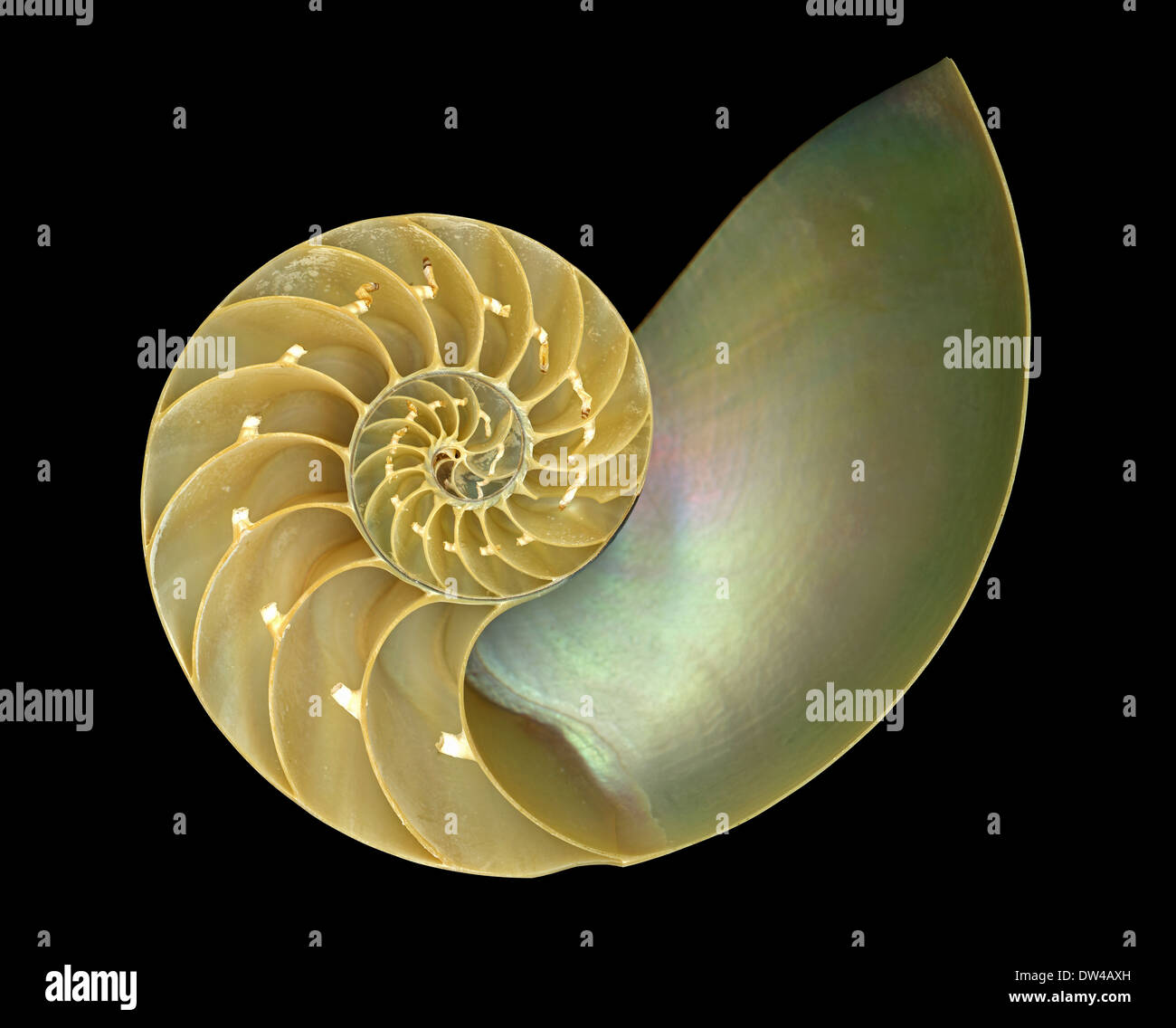 The inside of a Nautilus shell demonstrating a Fibonacci Spiral or Golden Spiral - Stock Image