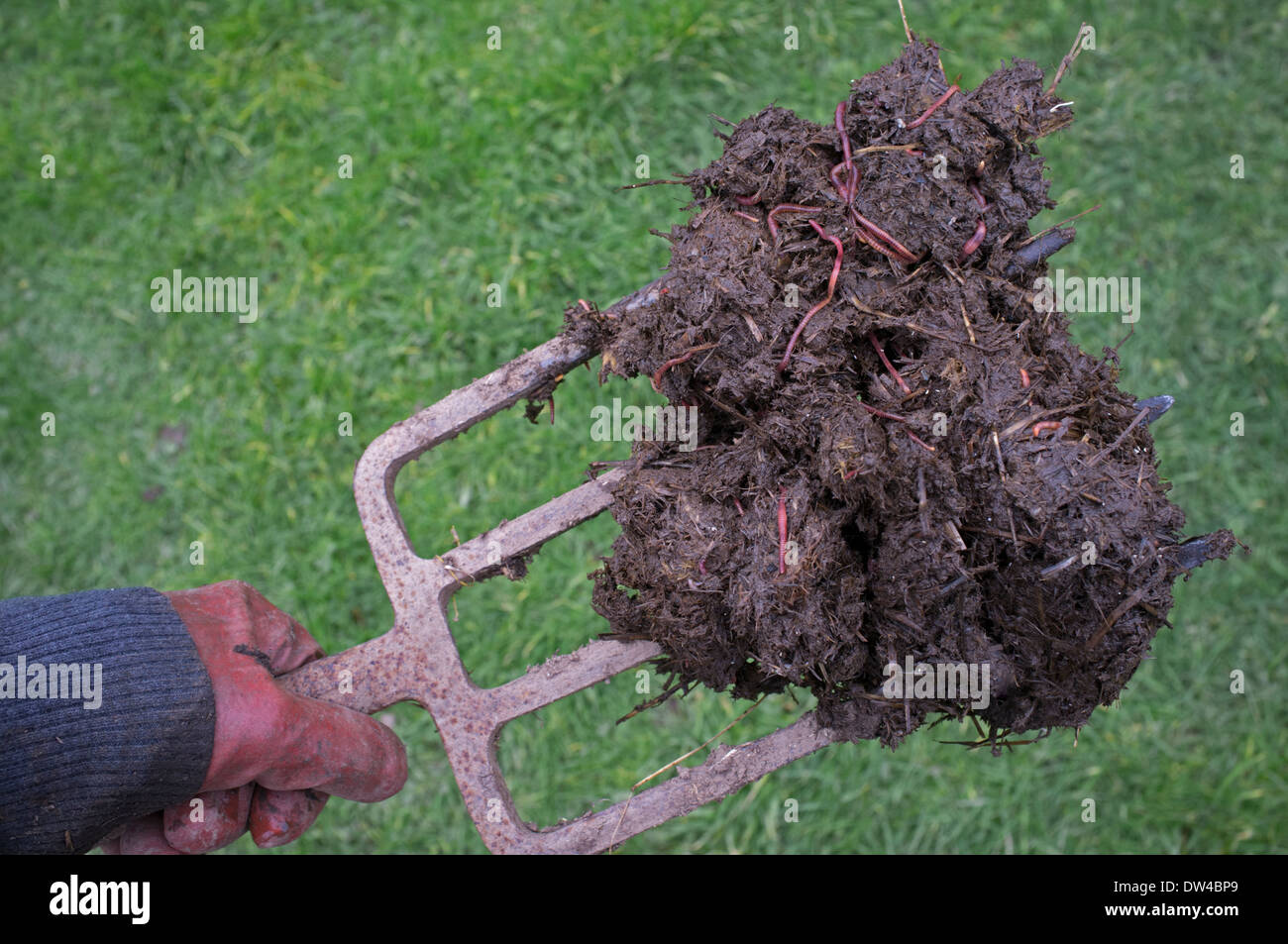 A forkful of horse manure on a garden fork Stock Photo