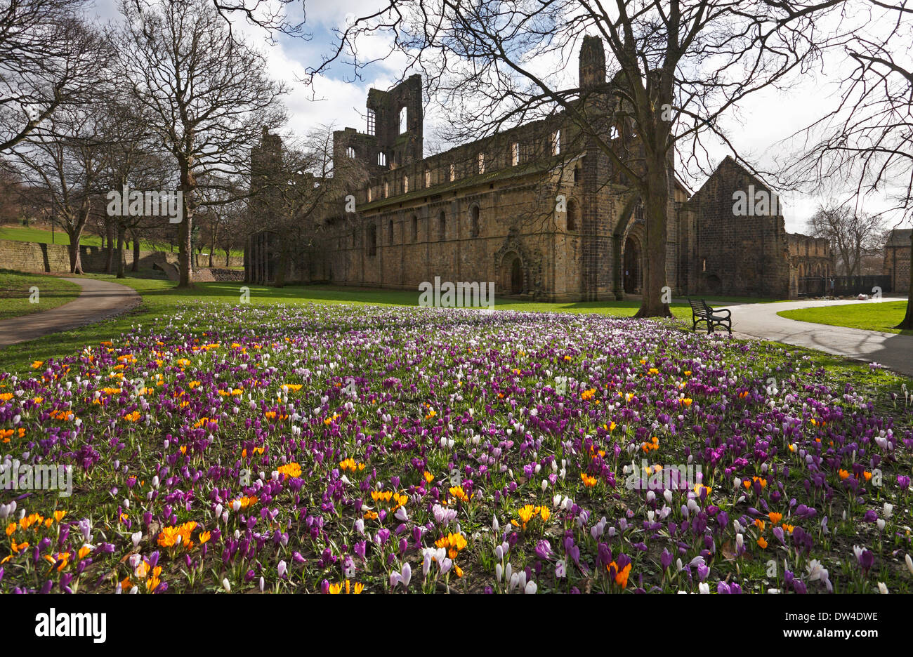 Crocuses in the grounds of Kirkstall Abbey, Leeds, West Yorkshire, England, UK. - Stock Image
