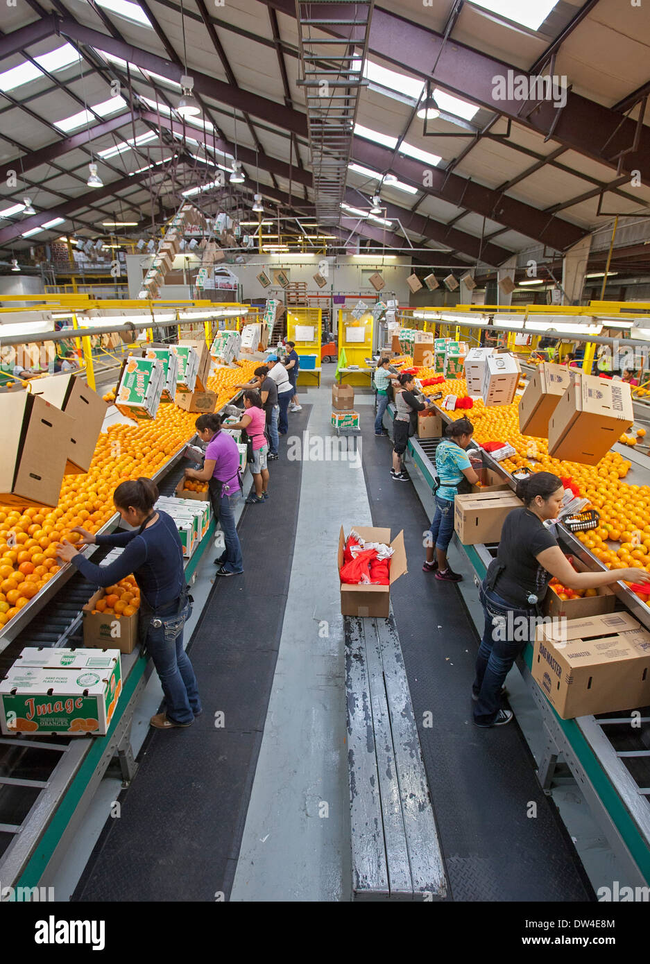 Vero Beach, Florida - Oranges are sorted and packed at the IMG Citrus packinghouse. - Stock Image