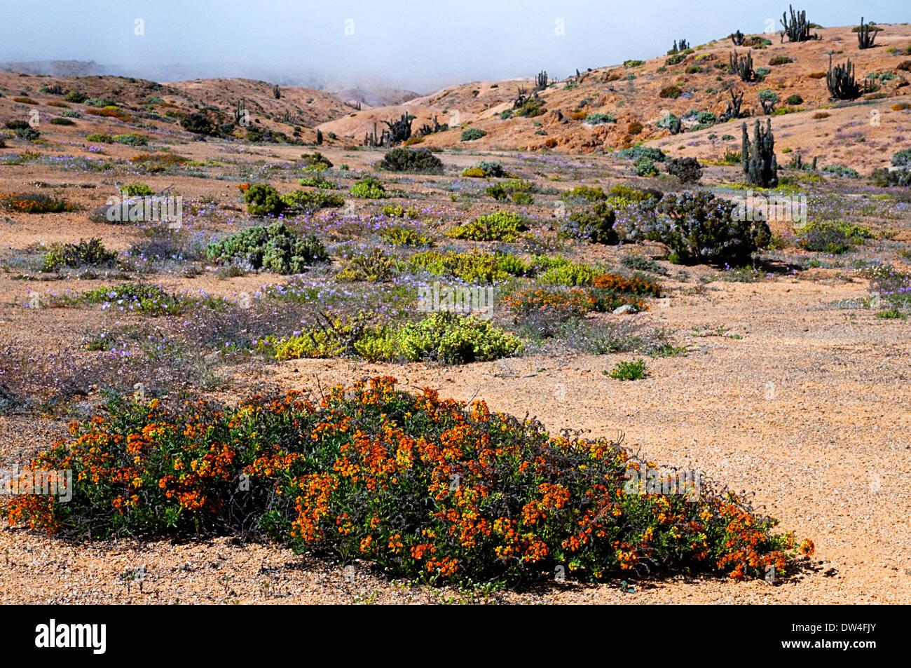 The Desierto Florido or flowering desert, Pan de Azúcar National Park, Atacama, Antofagasta Region, Chile, South America - Stock Image