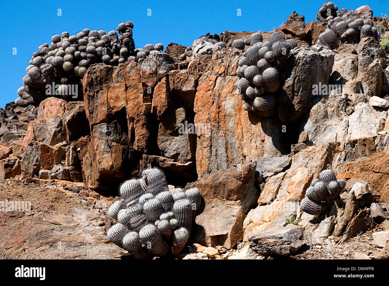 Columna alba cacti (Copiapoa cinerea) in the Atacama, Pan de Azúcar National Park, Antofagasta Region, Chile, South America - Stock Image