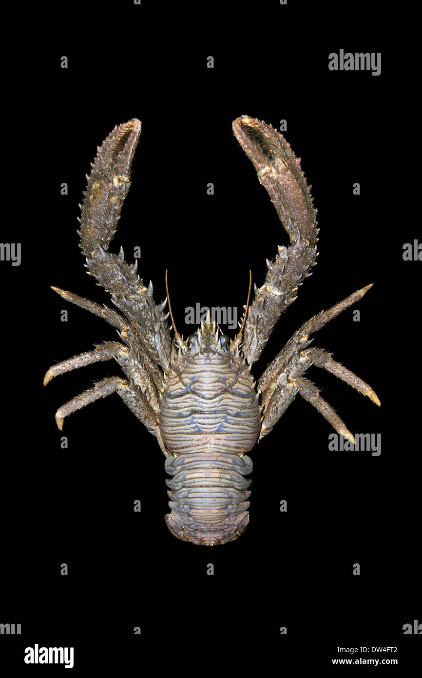 Squat Lobster Galathea sp. - Stock Image