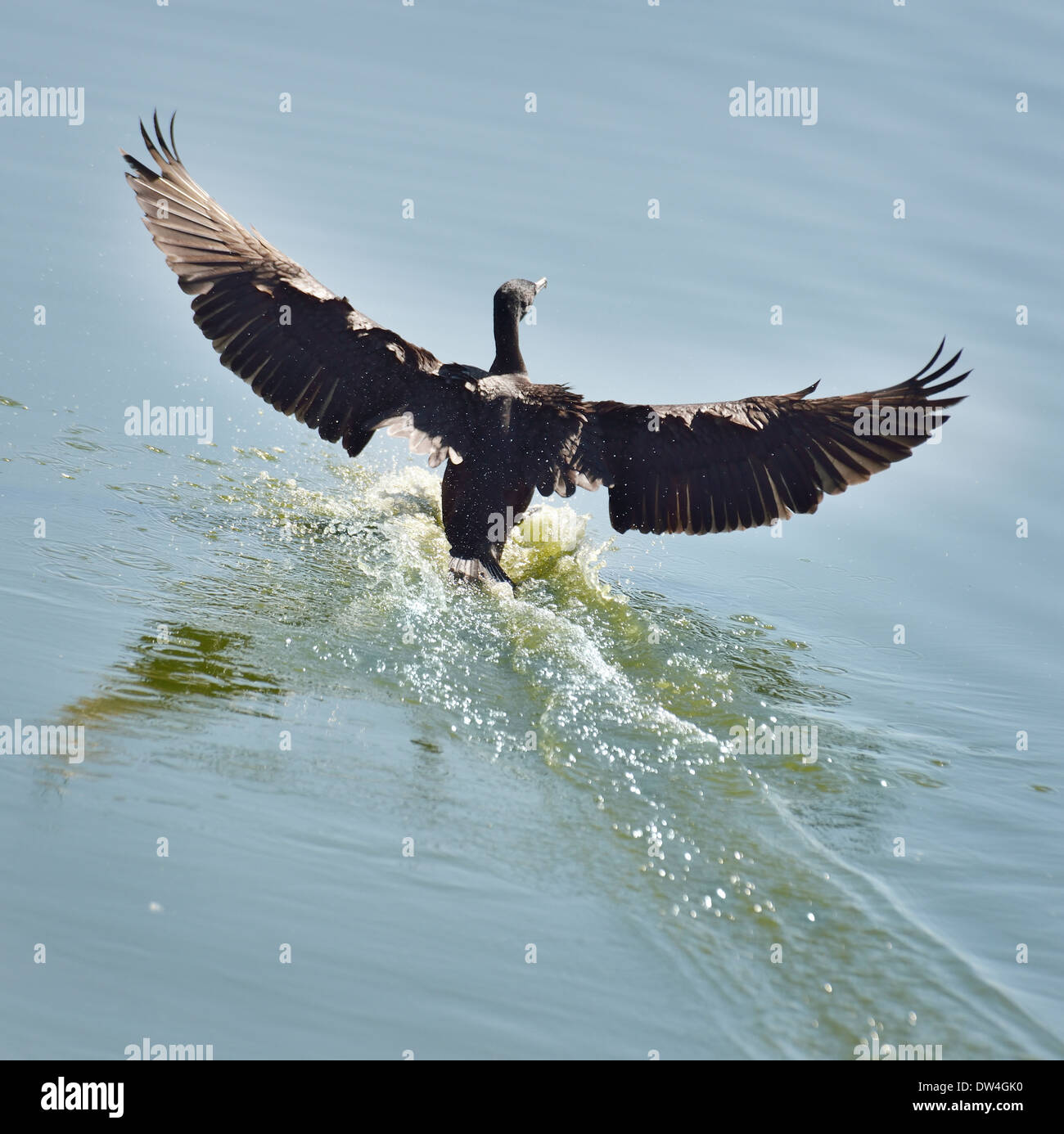 Black Cormorant Landing On Water - Stock Image