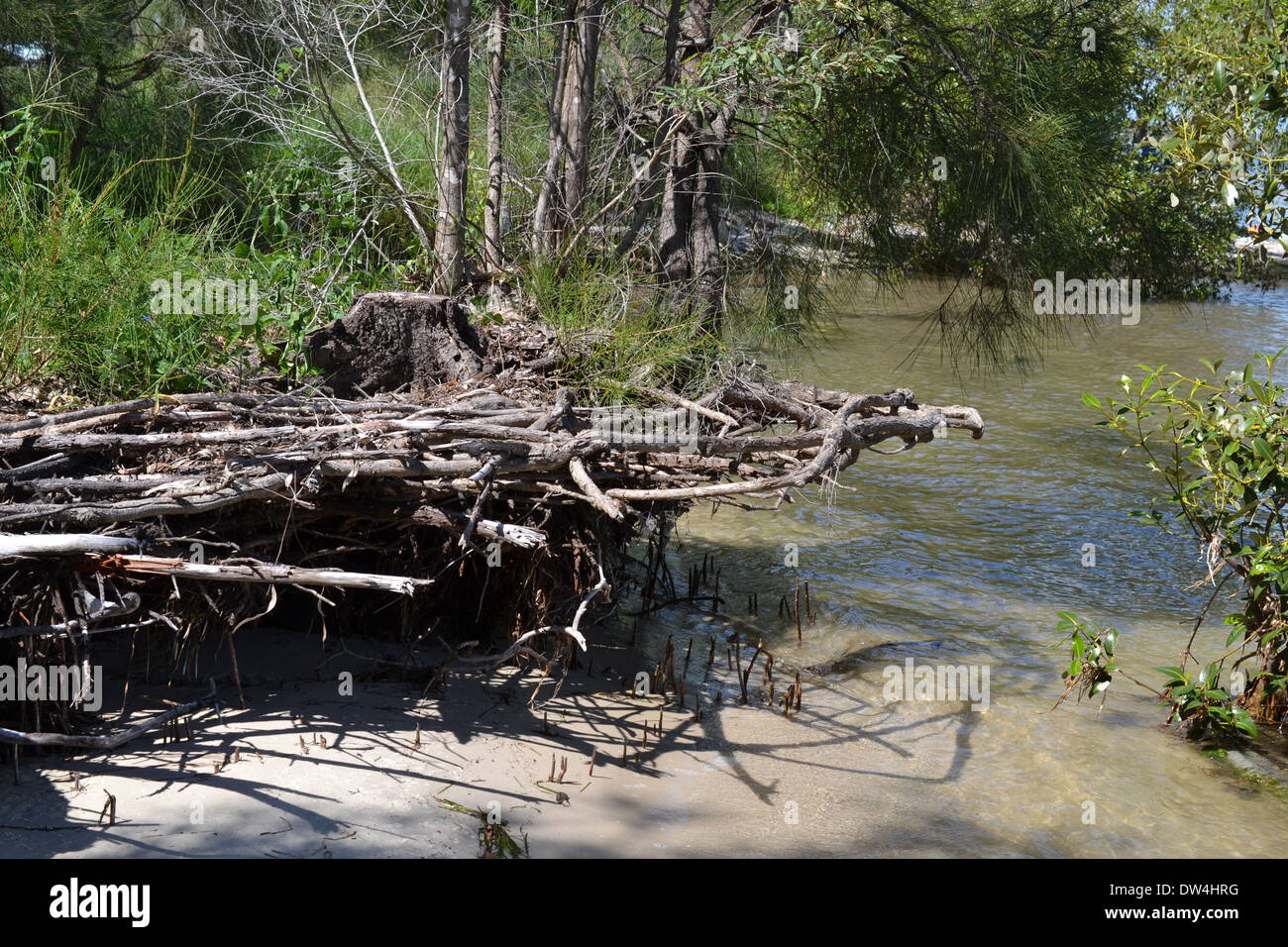 Coastal erosion exposing the roots of nearby trees and mangroves - Stock Image