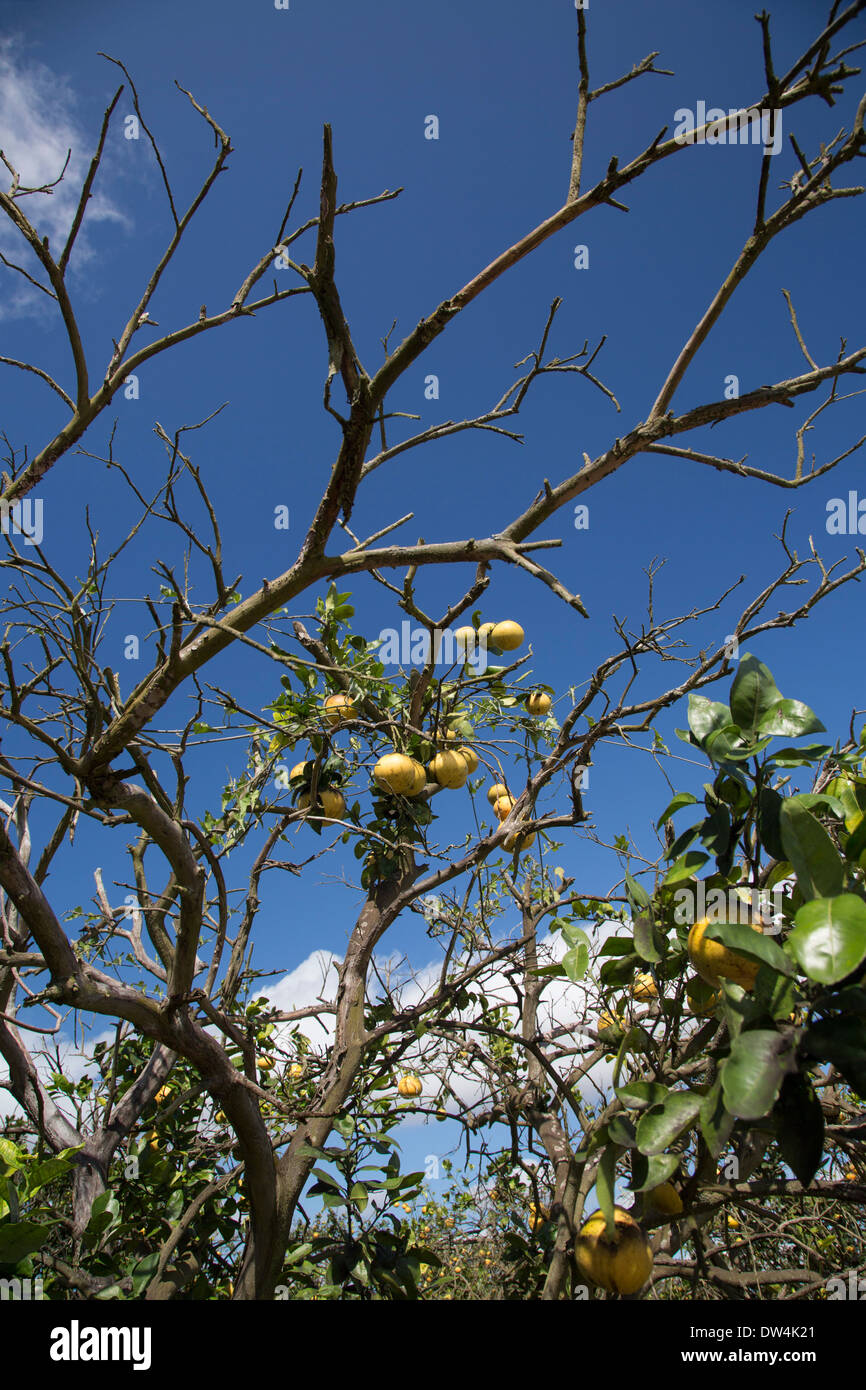 Citrus greening disease affects a grapefruit tree in the Indian River Citrus District on Florida's east coast. - Stock Image