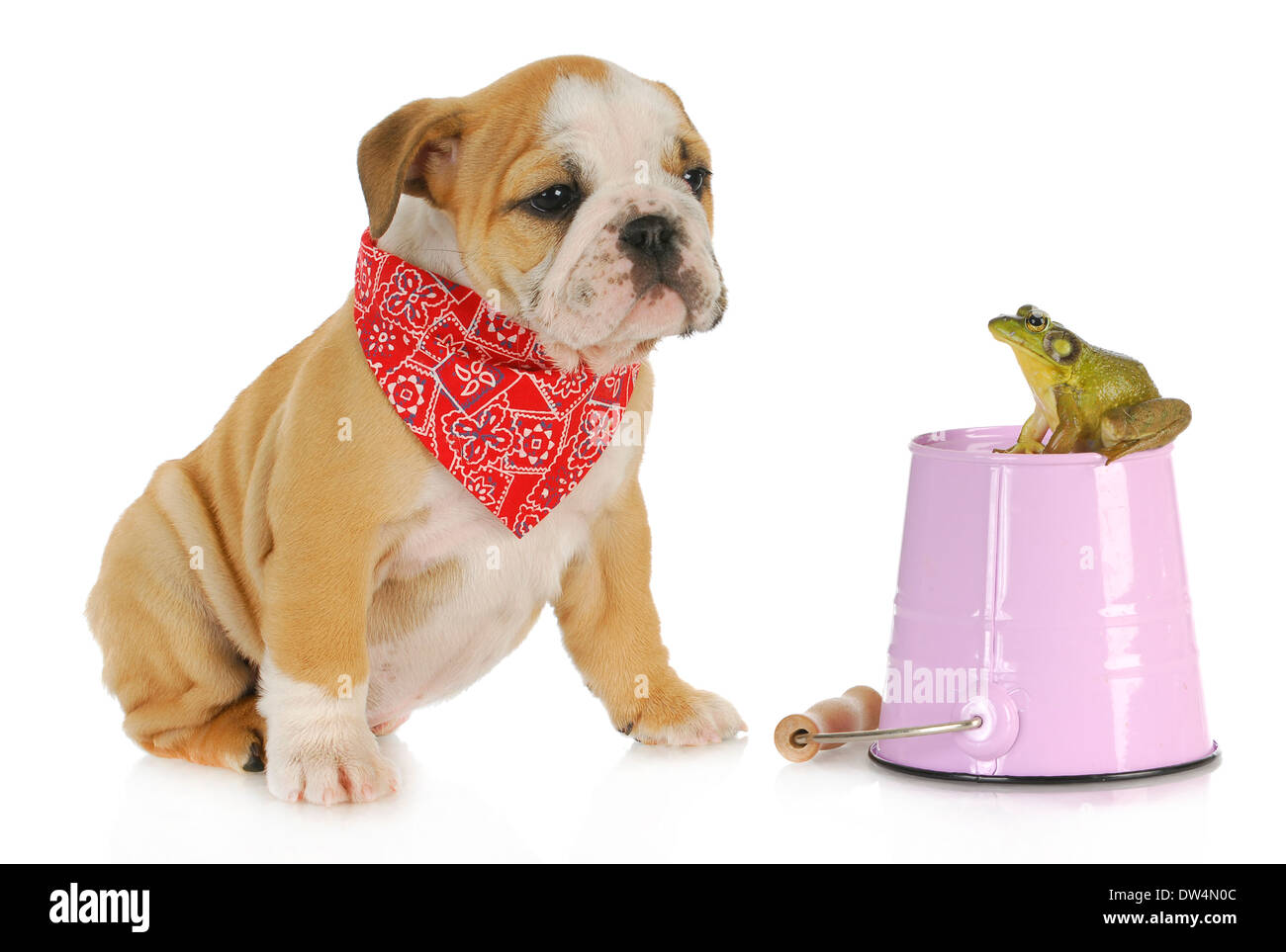cute puppy with bullfrog - english bulldog looking at bullfrog sitting on a pail isolated on white background - Stock Image