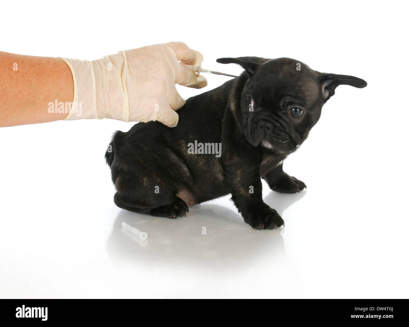 microchipping puppy - french bulldog puppy being microchipped - 8 weeks old - Stock Image