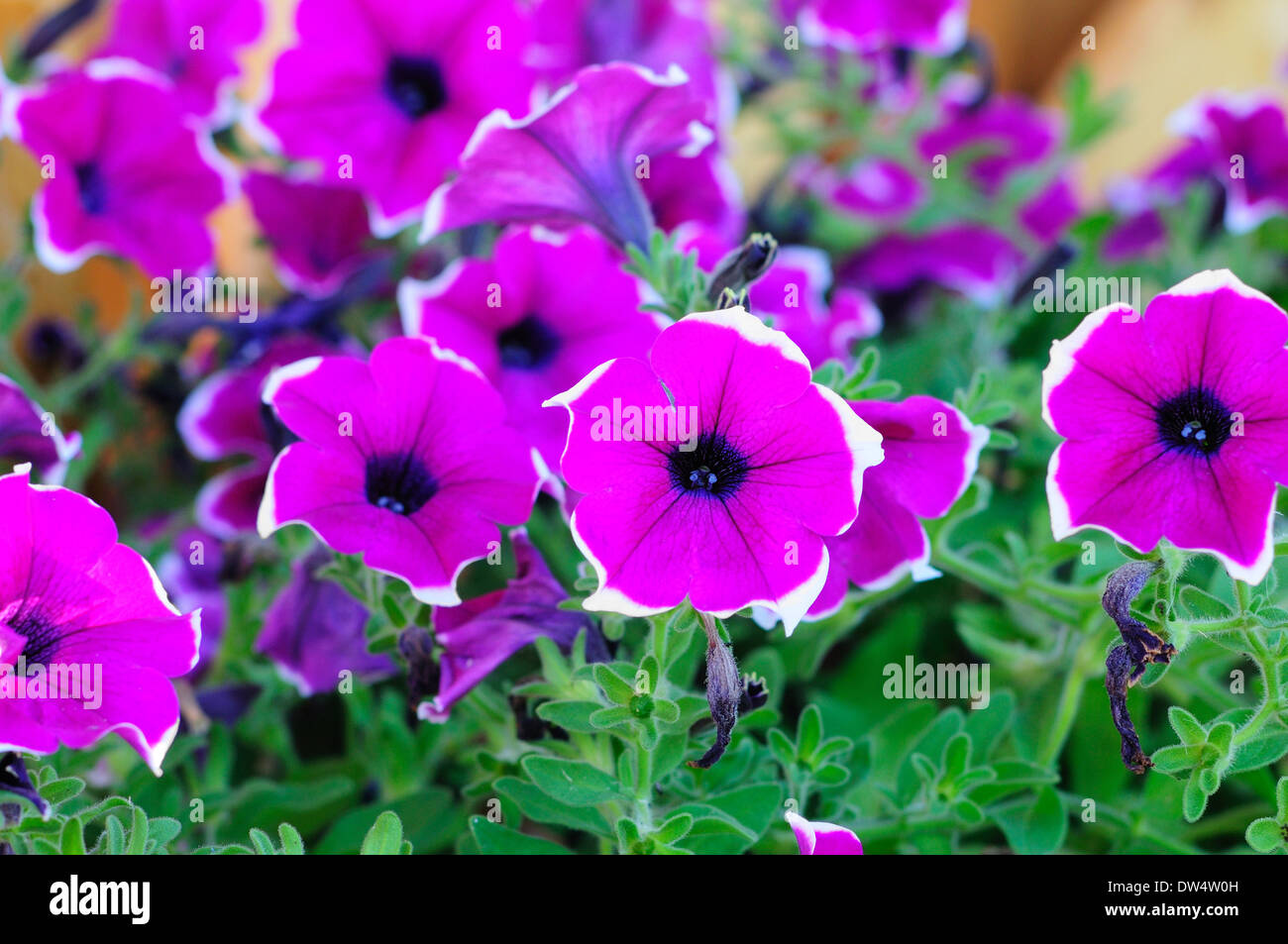 picture of a buquet of pink Petunia multiflora Merlin - Stock Image
