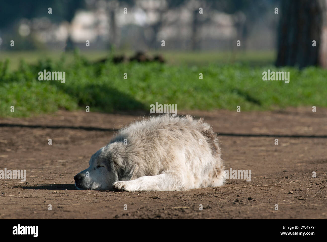 Sheepdog sleeping on dirt road, Appia Antica Regional Park, Rome, Lazio, Italy - Stock Image