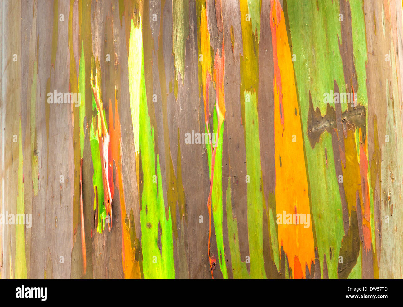 The colorful trunk of the Rainbow Eucalyptus tree - Stock Image