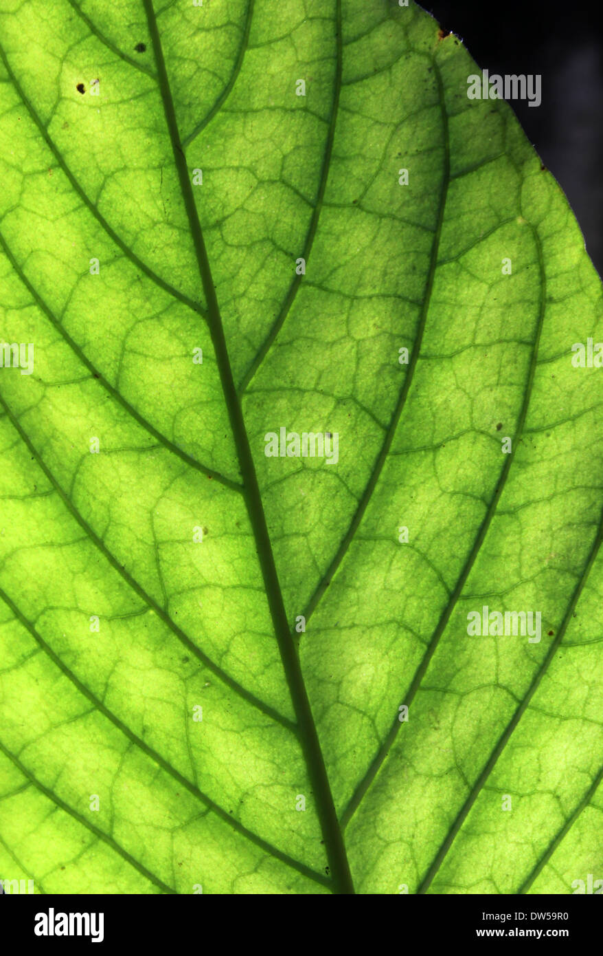 Veins of a leaf against sunlight - Stock Image