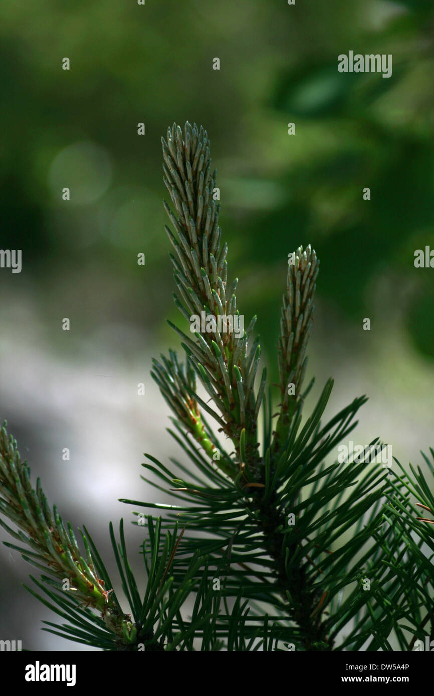 Desire of a spruce branch - Stock Image