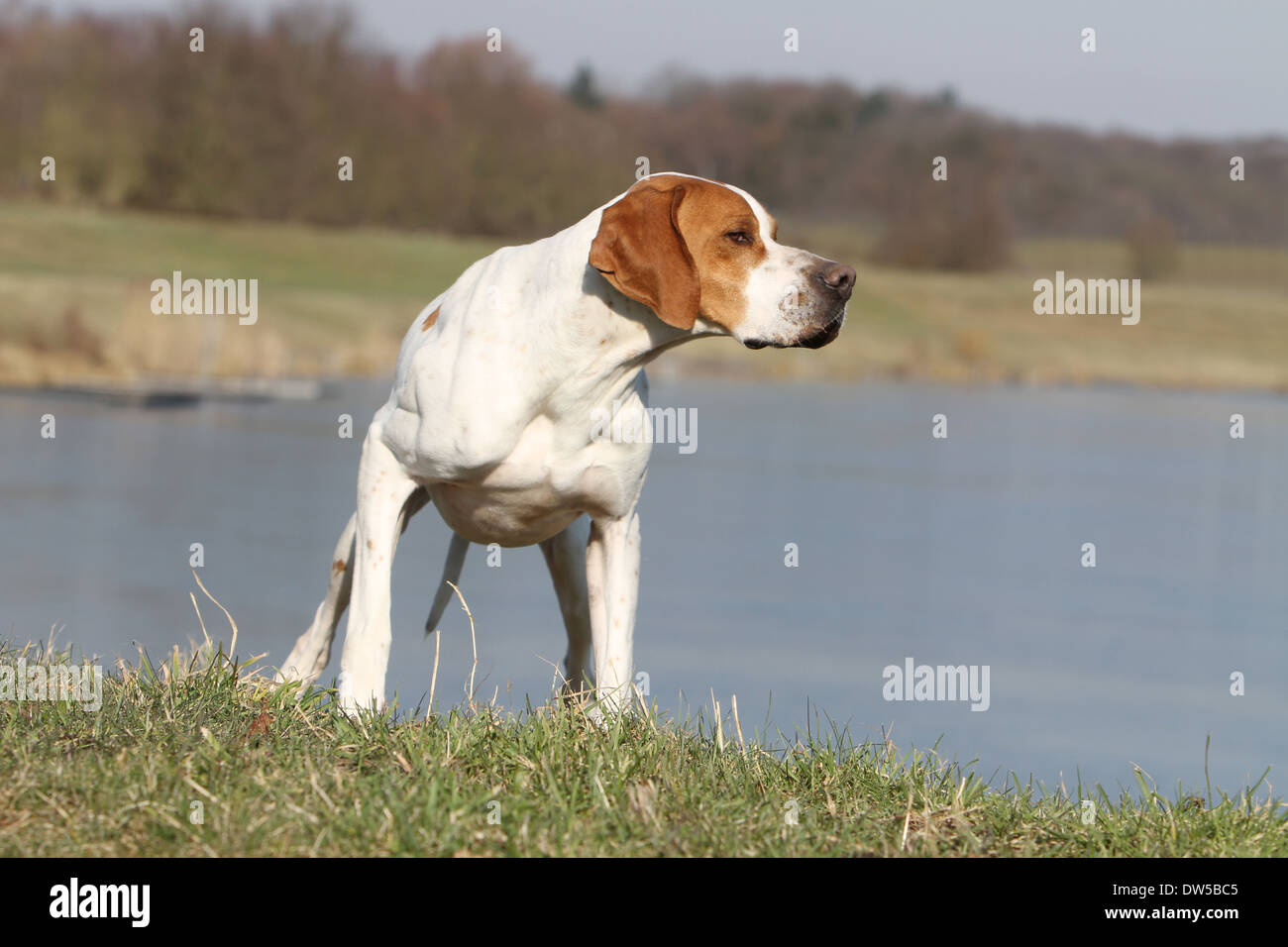 Dog English Pointer  /  adult pointing at the edge of a lake - Stock Image