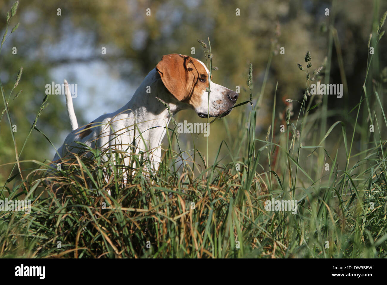 Dog English Pointer  /  adult standing in a meadow - Stock Image
