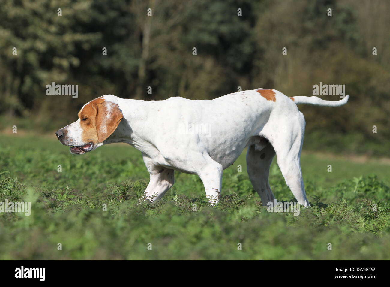 Dog English Pointer  /  adult pointing in a field - Stock Image