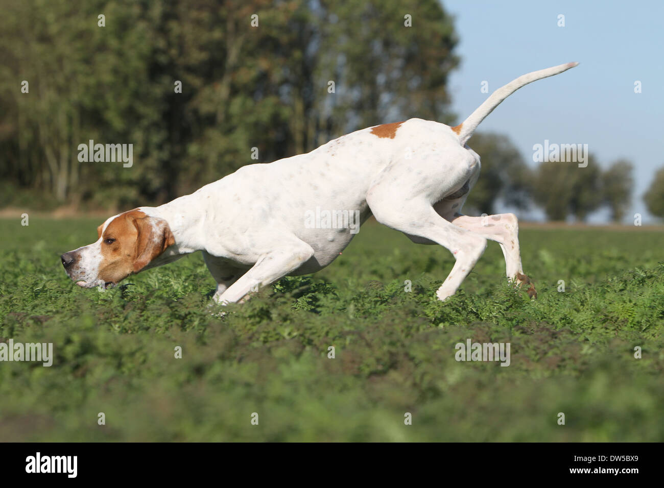 Dog English Pointer  /  adult running in a field - Stock Image