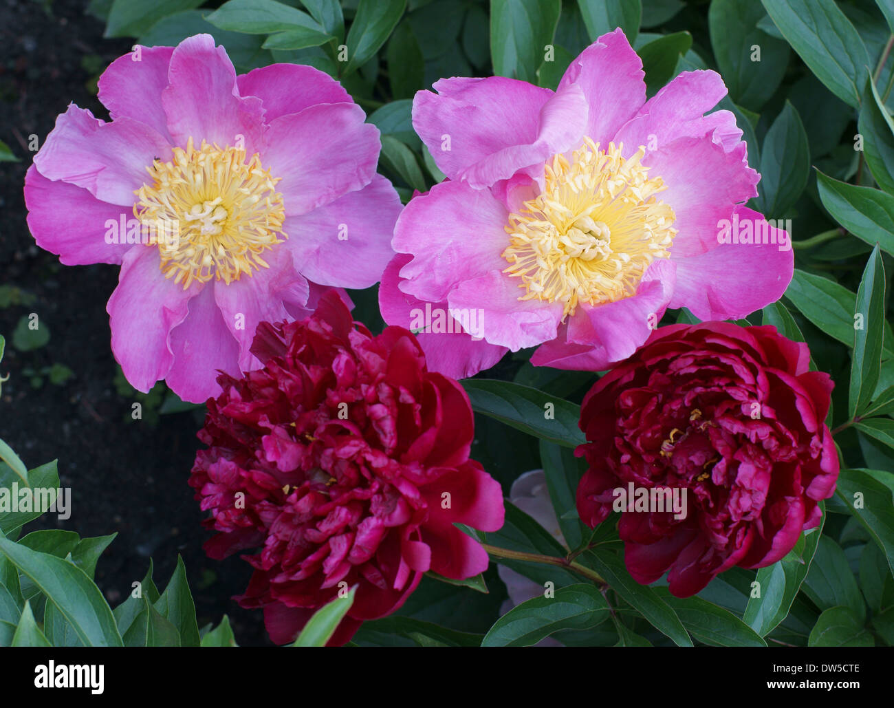 Pink and scarlet peonies Peonia - Stock Image