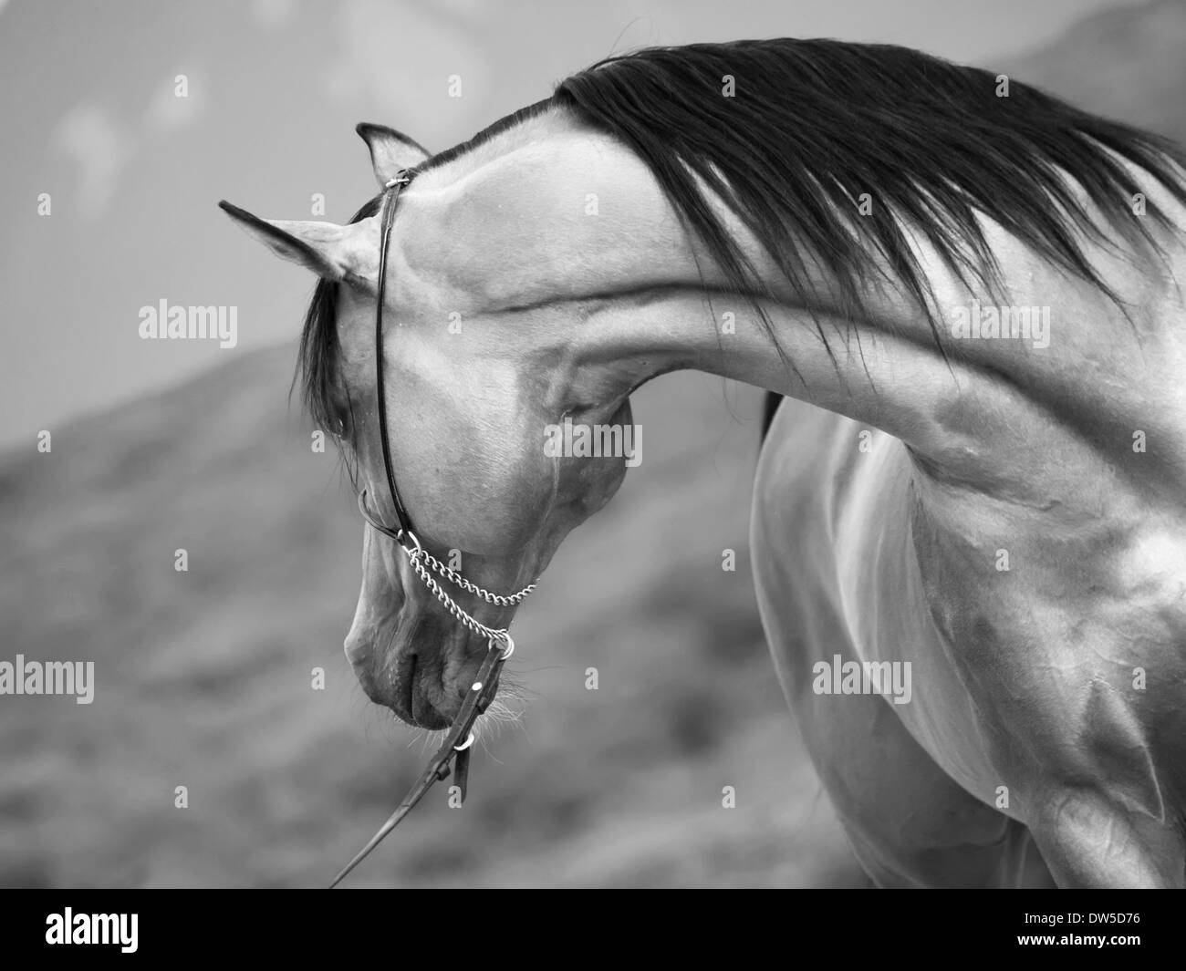 bay arabian stallion at mountain background - Stock Image