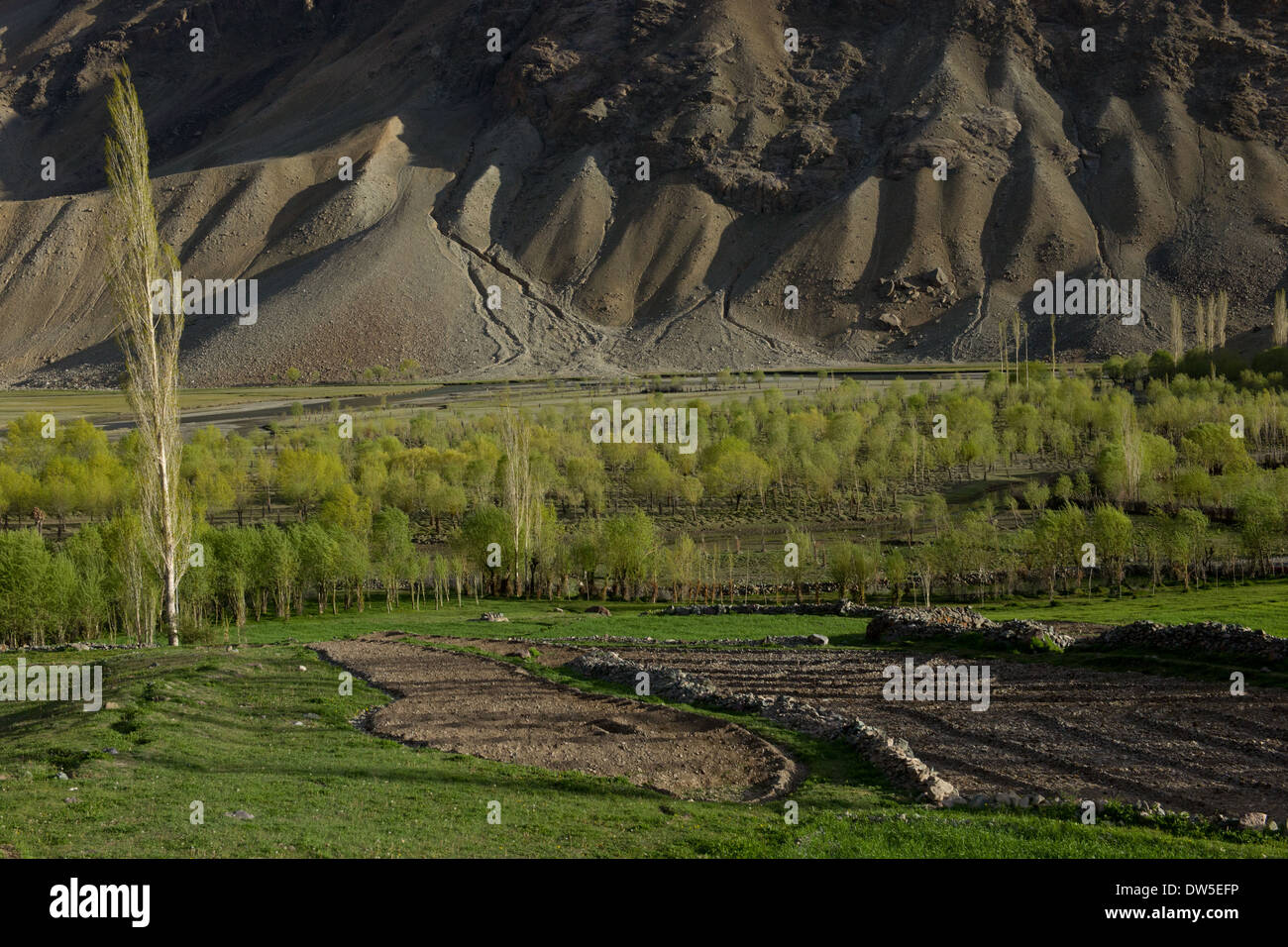 Trees growing in farmland, in the Ghizar River (Gilgit River) Valley near Golaghmuli, seen from the Shandur-Gilgit Road, near the Shandur Pass, Gilgit-Baltistan, Pakistan - Stock Image