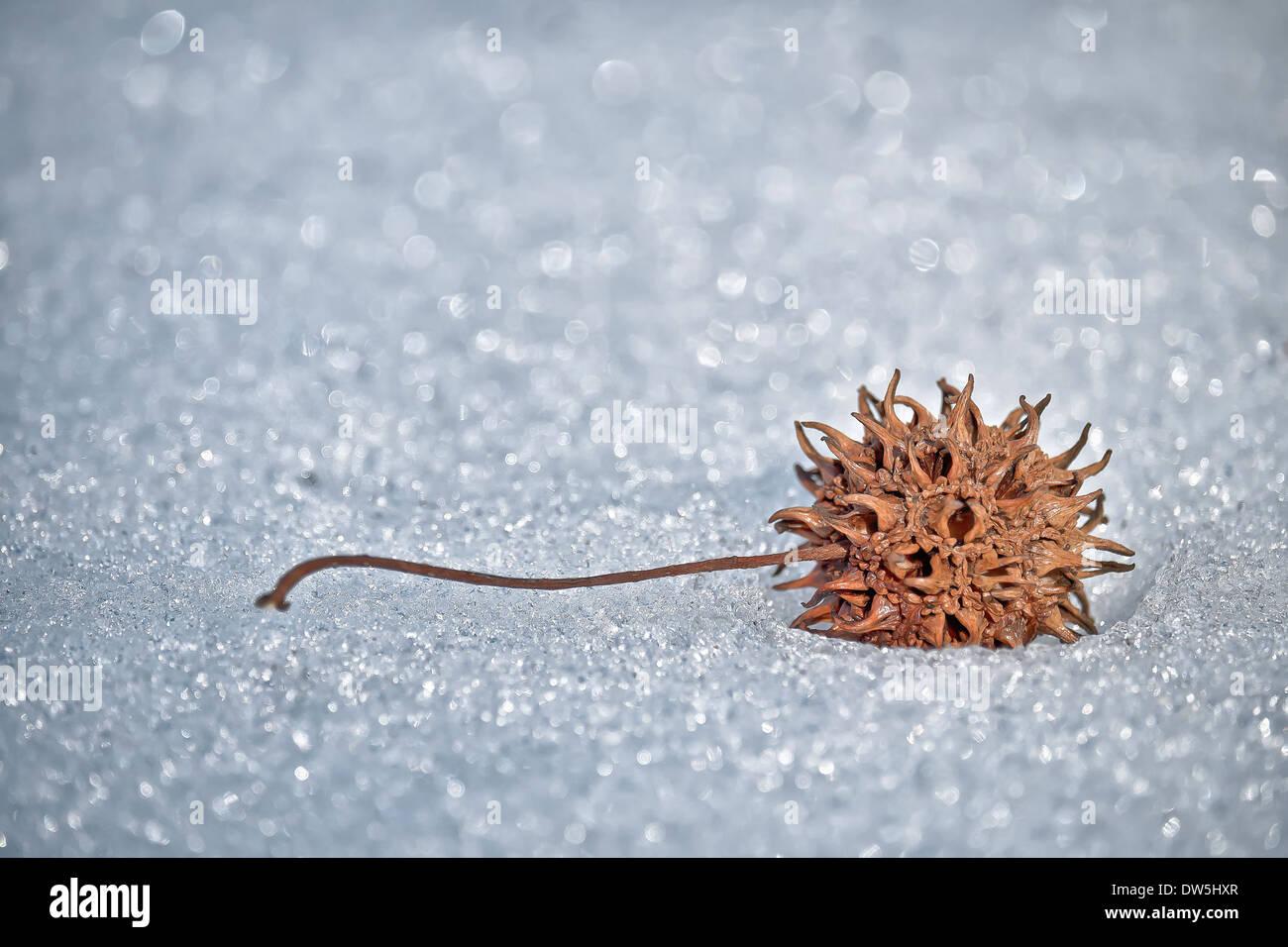 Sweet Gum Seed pod on snow - Stock Image