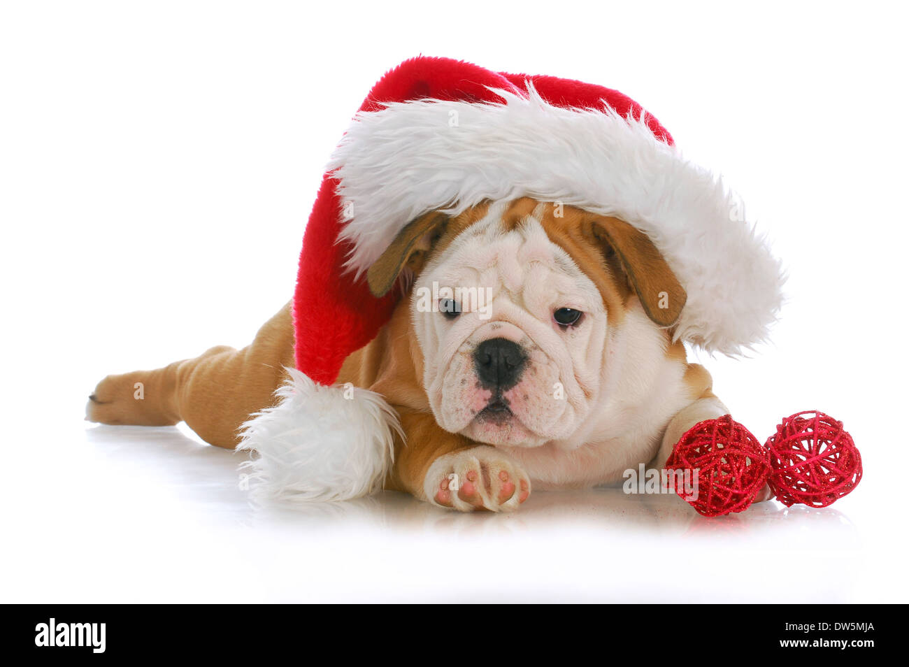 Newborn Puppy English Bulldog Puppy High Resolution Stock Photography And Images Alamy