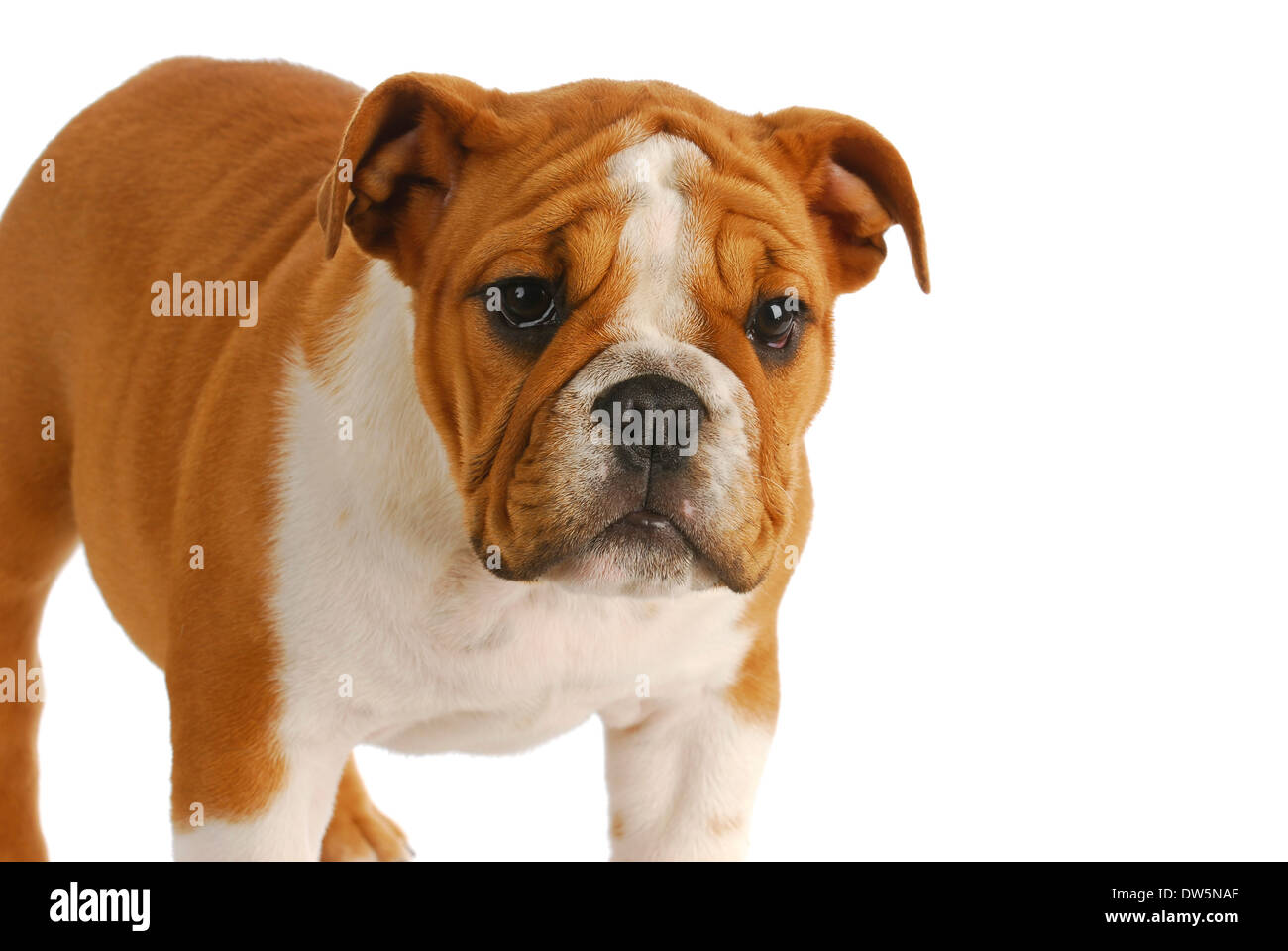 Cute Puppy English Bulldog Puppy Standing Looking At Viewer On Stock Photo Alamy