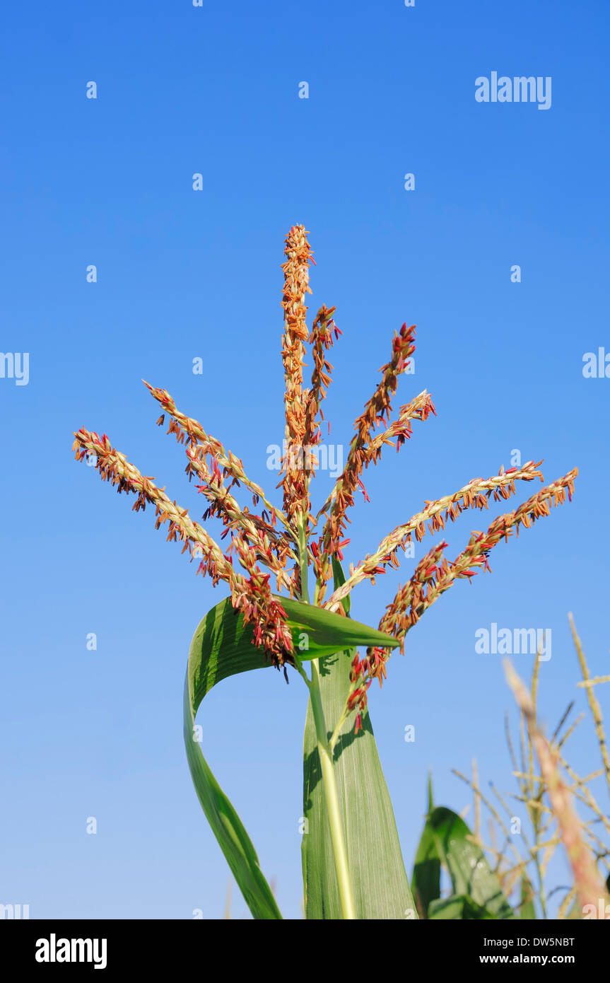 Maize or Corn (Zea mays), blooming, North Rhine-Westphalia, Germany - Stock Image