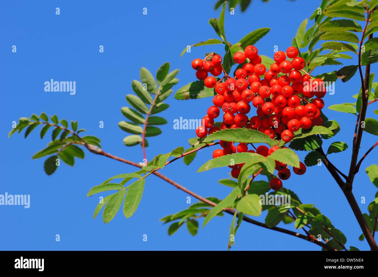 Rowan Ash or Mountain Ash (Sorbus aucuparia), berries, North Rhine-Westphalia, Germany Stock Photo
