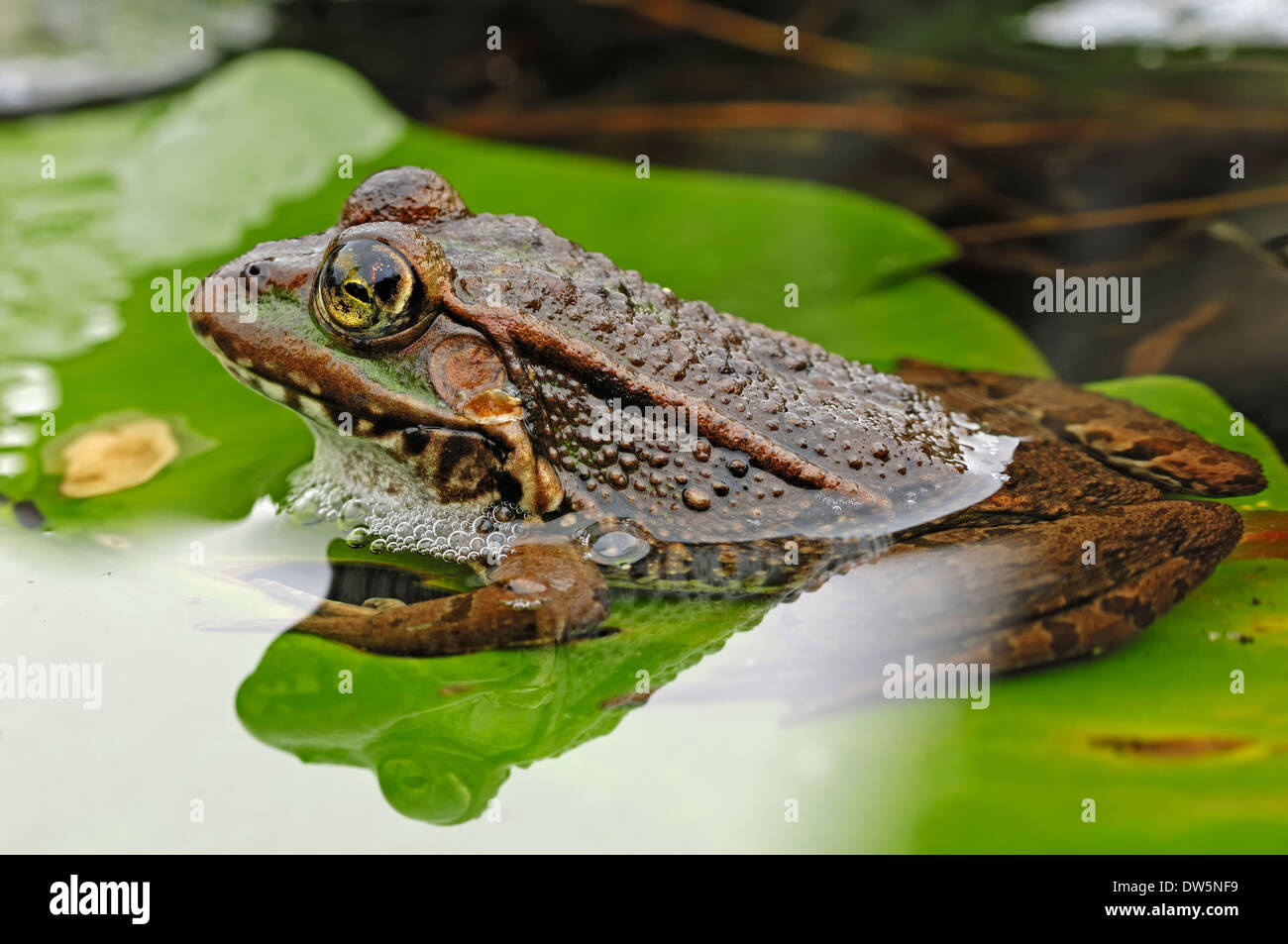 Marsh Frog or Lake Frog (Rana ridibunda, Pelophylax ridibundus), North Rhine-Westphalia, Germany - Stock Image